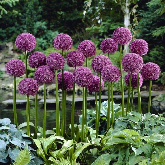 Giant Allium Bulbs Globemaster Buy In Bulk At Edenbrothers Com Allium Flowers Bulb Flowers Beautiful Gardens