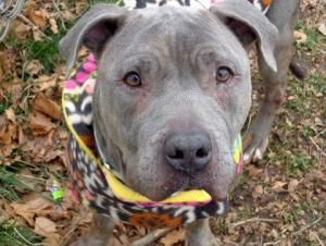 Adopt Mason On Pitbull Terrier Bull Terrier Dog Dogs