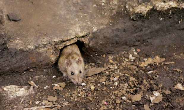 Phoenix Ranks Among Cities With Most Rodent Activity City Rats Rats Rat Control