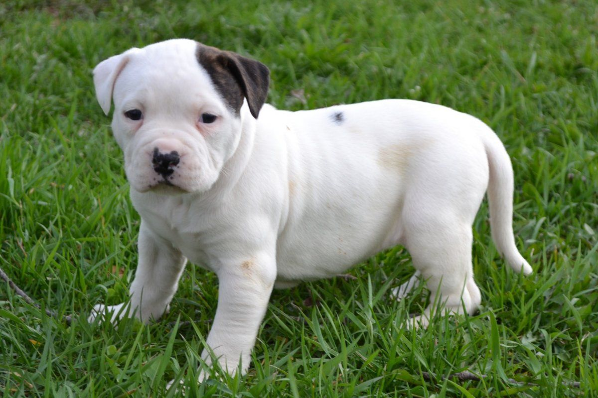 Pin By Walter R On American Bulldogs Other Bulldogs American Bulldog Puppies Bulldog Puppies Bulldog Puppies Funny