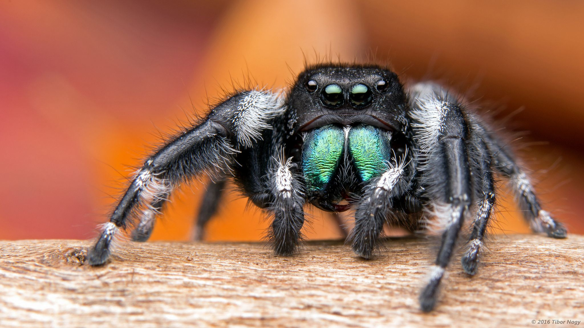 Phidippus audax bold jumping spider Jumping spider