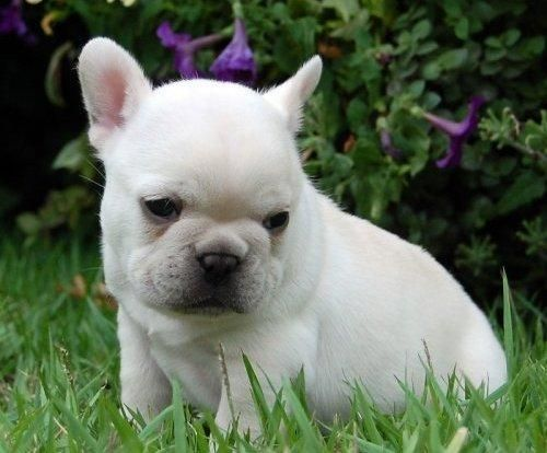 Free Ads Eu Dogs Puppies Classifieds Absolutly Adorable