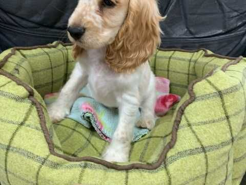 Home Reared Show Type Cocker Spaniel Puppies Ely Cambridgeshire Pets4homes Spaniel Puppies Cocker Spaniel Puppies Cocker Spaniel Breeds