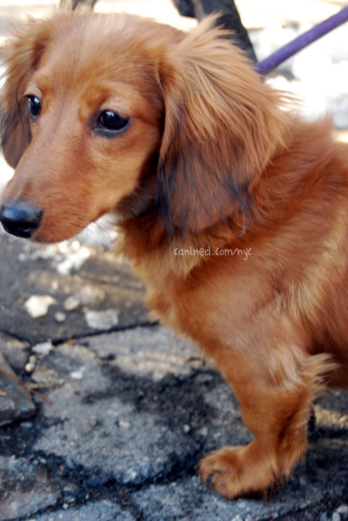 Long Haired Dachshund Want Want Want Long Haired Dachshund