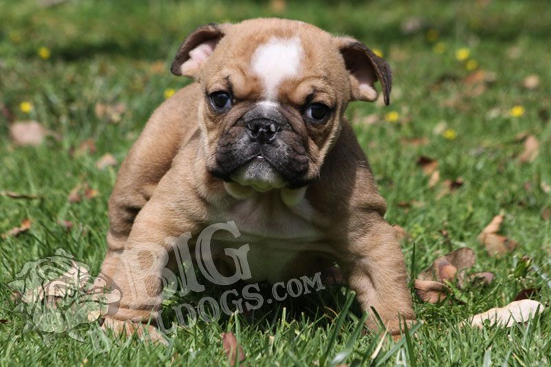 French Bulldog Puppies By Matt Meredith On Matt S 26 Birthday