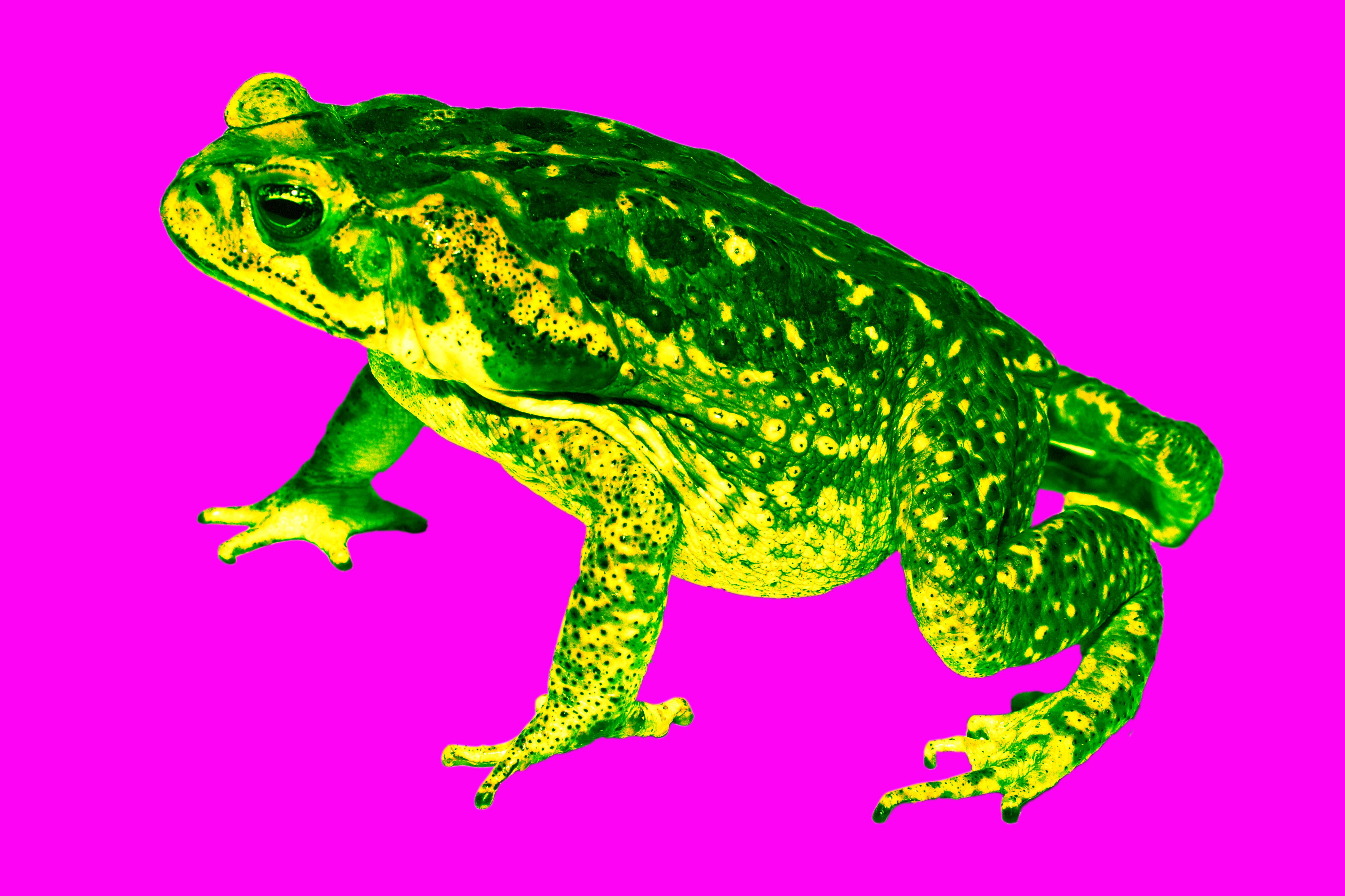 cane toad yellow