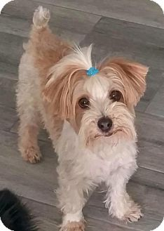 Phoenix Az Maltese Yorkie Yorkshire Terrier Mix Meet Danny A Dog For Adoption Dog Adoption Yorkshire Terrier Dogs And Puppies