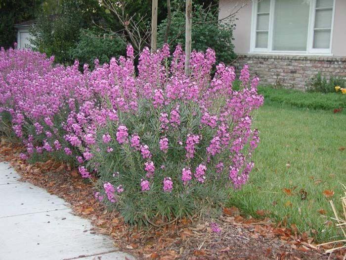 Erysimum Bowles Mauve Perennials Flowers Perennials Outside Plants