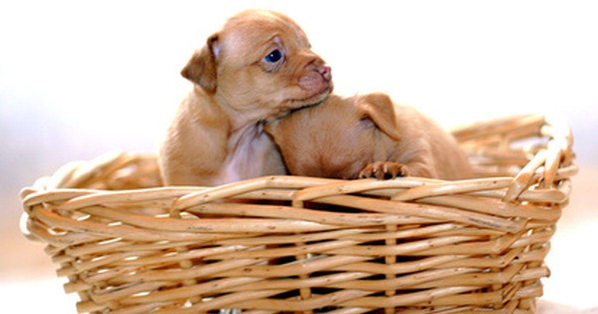Cómo Saber Cuando Un Chihuahua Va A Tener Cachorros Tips