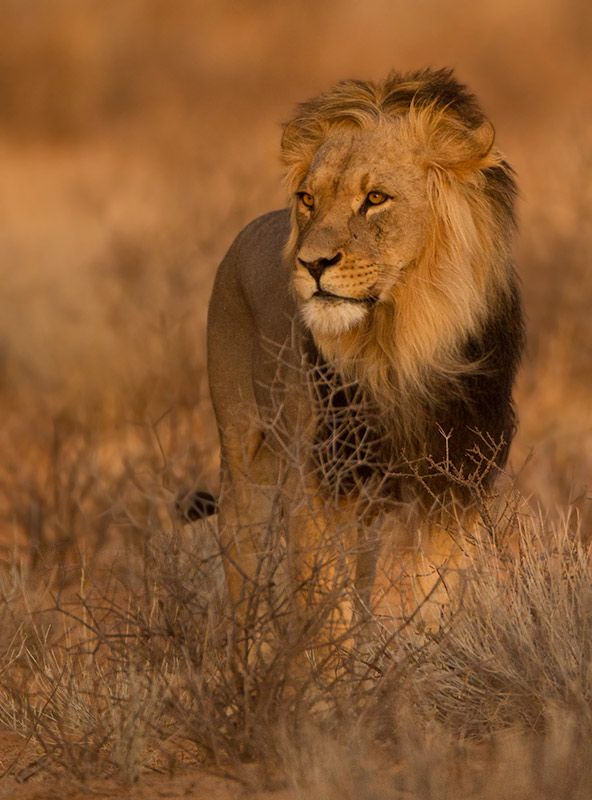 Awesome king! - by Professional Wildlife Photographer | Hendri Venter -