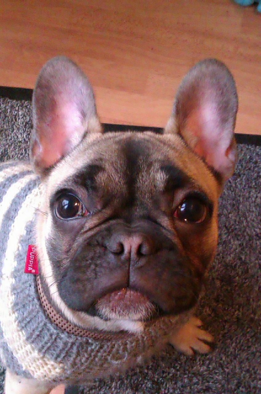 Frenchie !!!! Dog Walker Balham www.harrisonsdogs.co.uk
