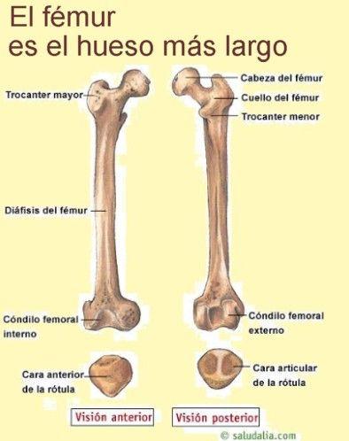 Sabías que el femur es el hueso más largo del cuerpo humano ...