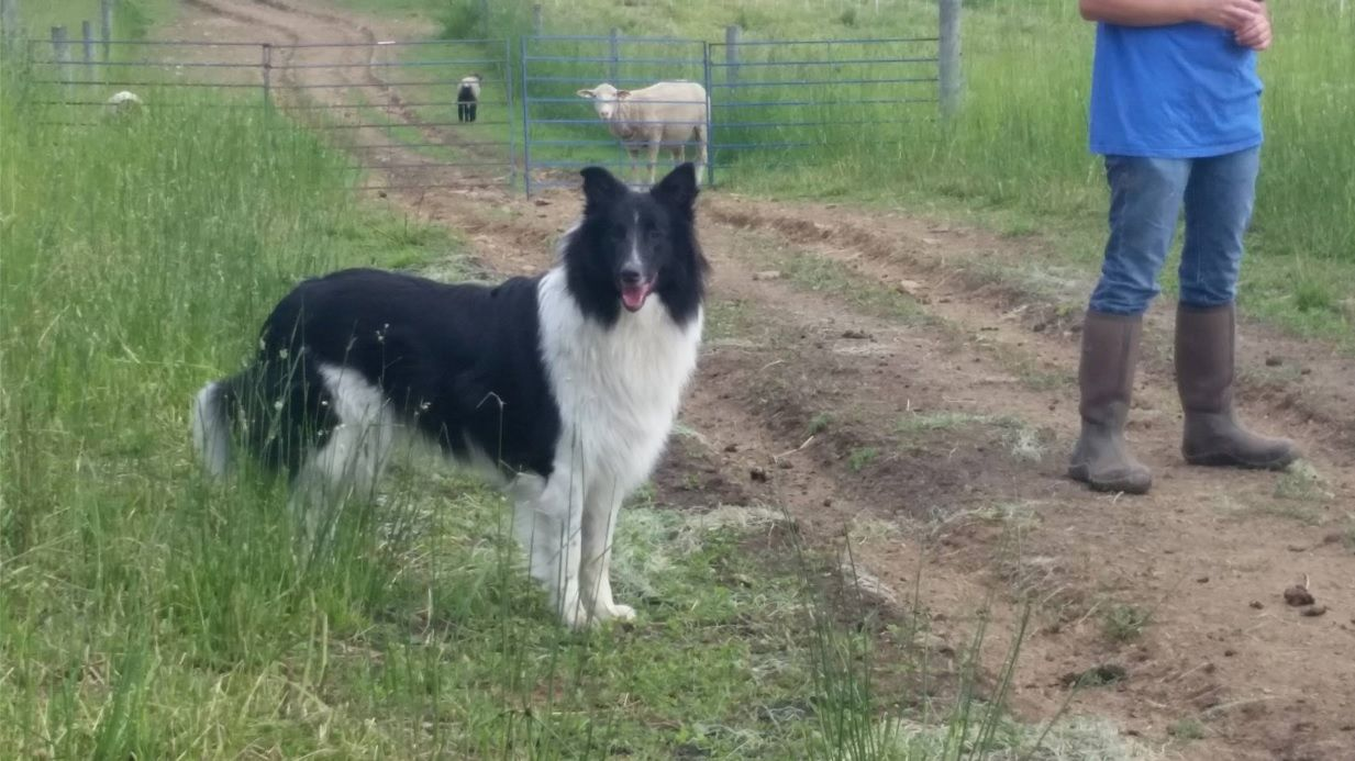 Pin On Old Time Scotch Collies Farm Collies