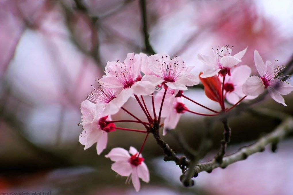 Gambar Bunga Sakura Pesonadunia In 2019 Pinterest Beautiful