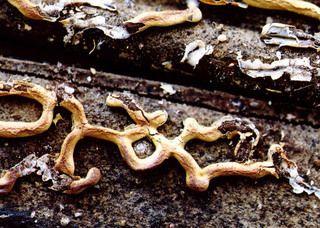 Physarum hongkongense