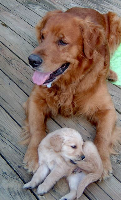 Goldens Dogs Puppies Dogs Dog Lovers