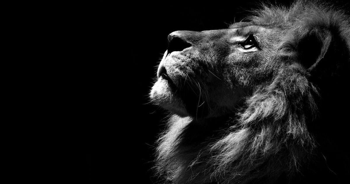 19 Iphone Wallpaper Hd Lion Lion Hd Wallpapers Wallpaper Cave Donald Glover As Simba The Lion King Black And White Lion Lion Wallpaper Iphone Lion Wallpaper