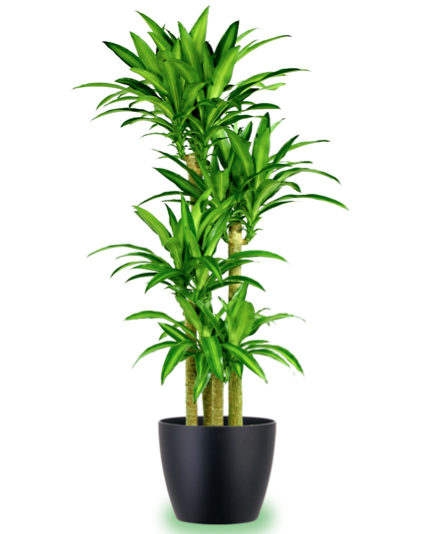 Corn plant i have loved these since i was a child for Low maintenance potted plants indoor