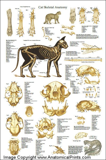 Cat Skeletal Anatomy Poster 24 X 36 Animais E Bichos De