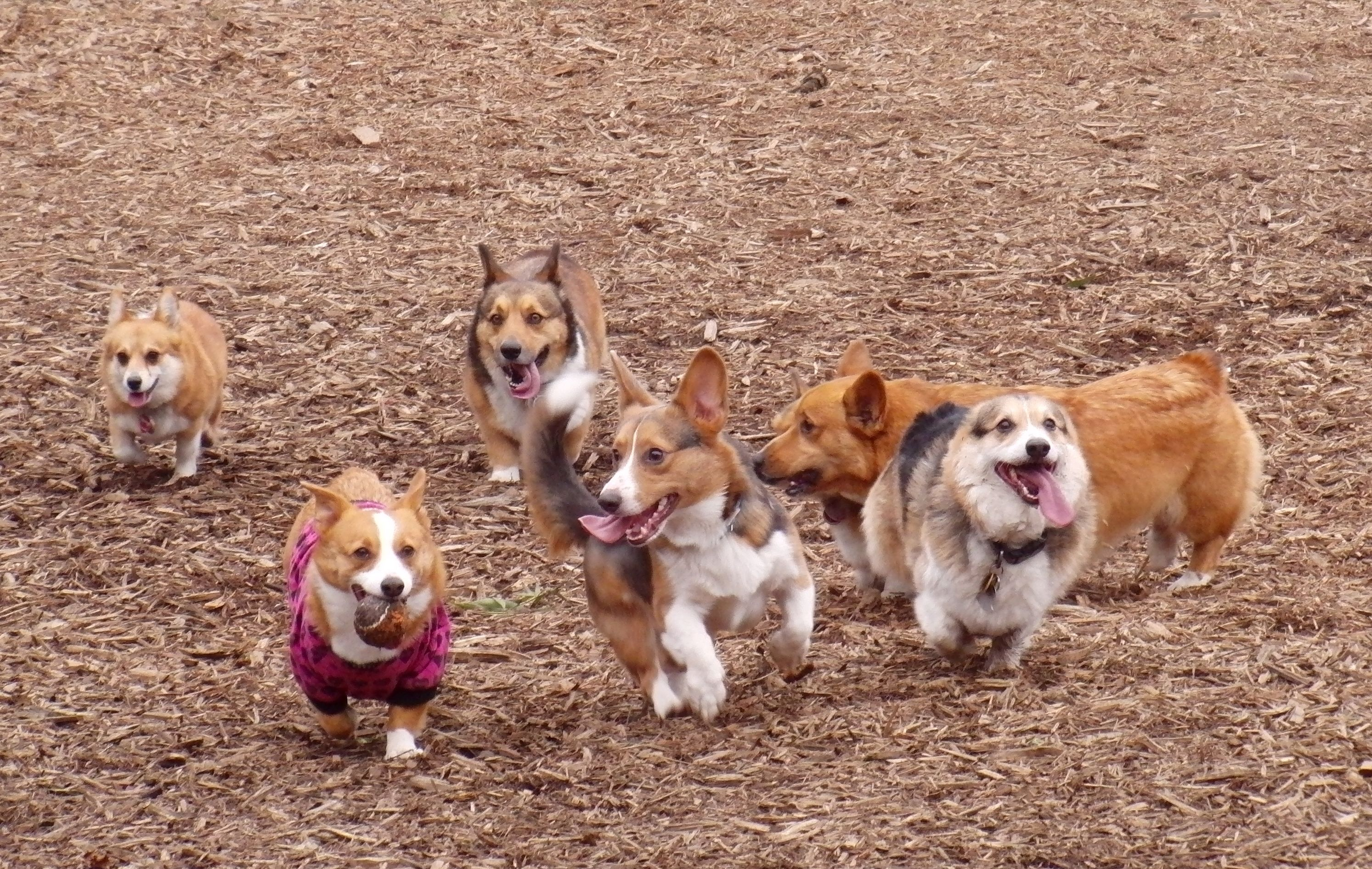 corgis so cute  look at their tongues