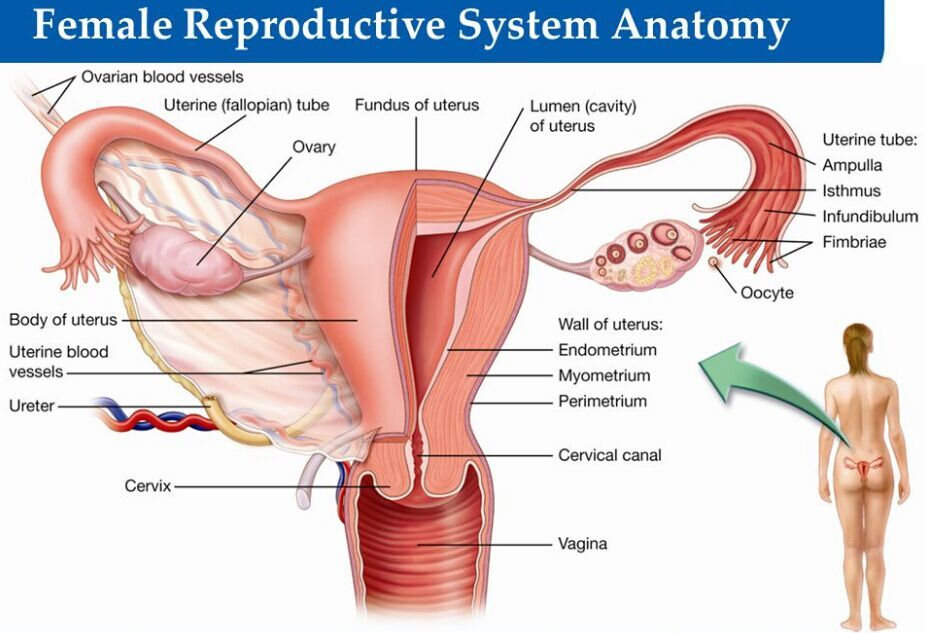 Female Reproductive System Anatomy Anotomy Pinterest