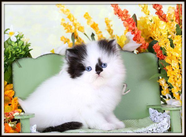 Black White Kittens Persian Kittens White Persian Kittens Kittens