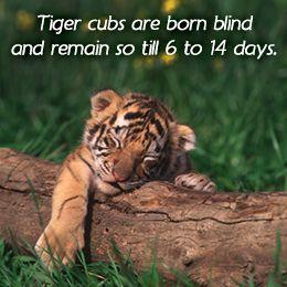 Tiger Facts For Kids Tiger Facts Tiger Facts For Kids Baby Animals