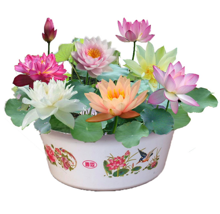 New Lotus Flower Seeds Rare 6 Kind Water Plant Bonsai Hydroponic Garden Home Hot