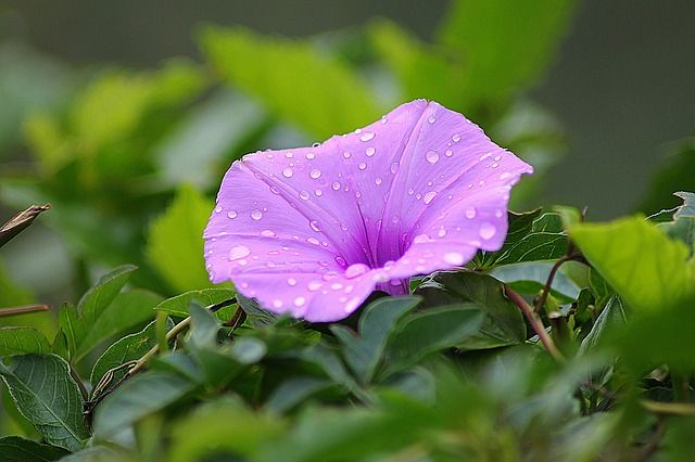 Learning Self Acceptance From Morning Glory The Real Us Good Morning Images Happy Good Morning Images Types Of Purple Flowers