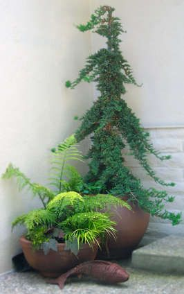 Conifers Beautiful As Container