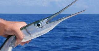 Ikan Cendro Macam Macam Teknik Mancing Mancing Ikan Cendro Resep Umpan Teknik Mancing Tips Memancing Ikan Air Tawar Umpan Jitu Ma Ikan Tips Memancing Memancing