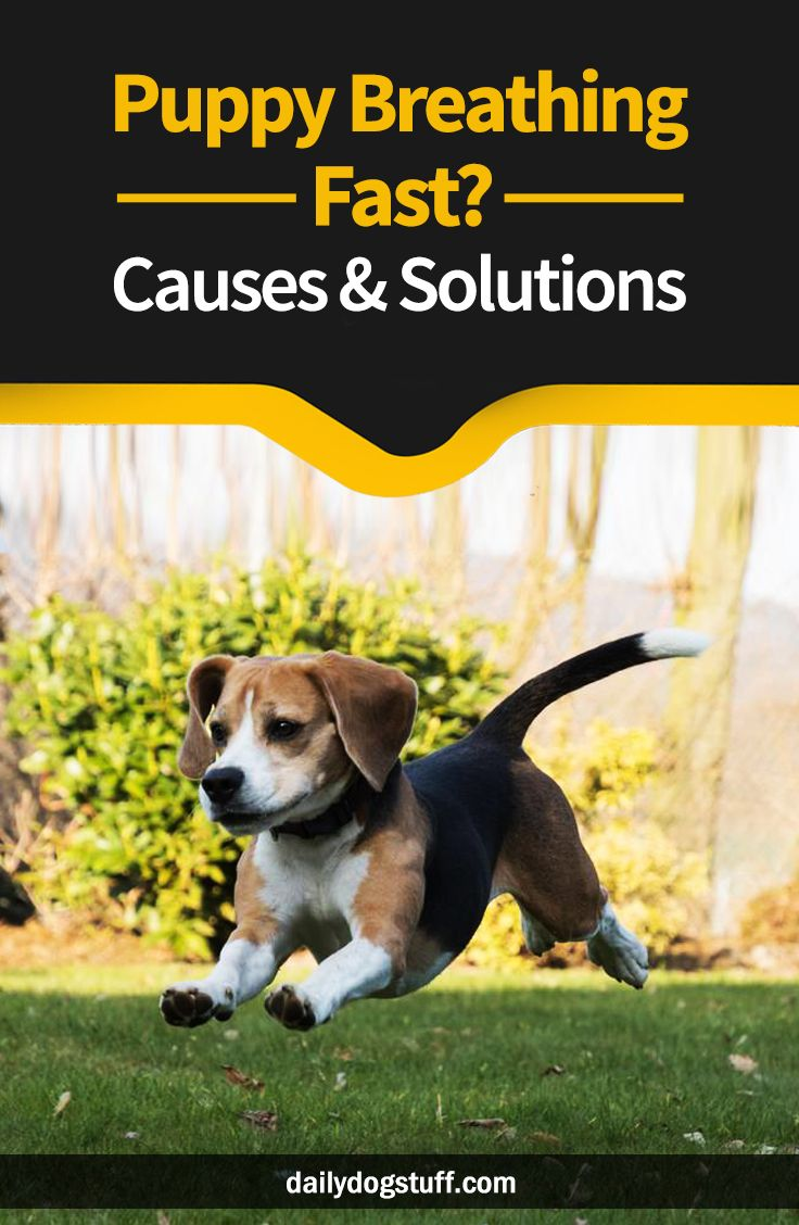 Puppy Breathing Fast? Causes & Solutions Dog care, Dog