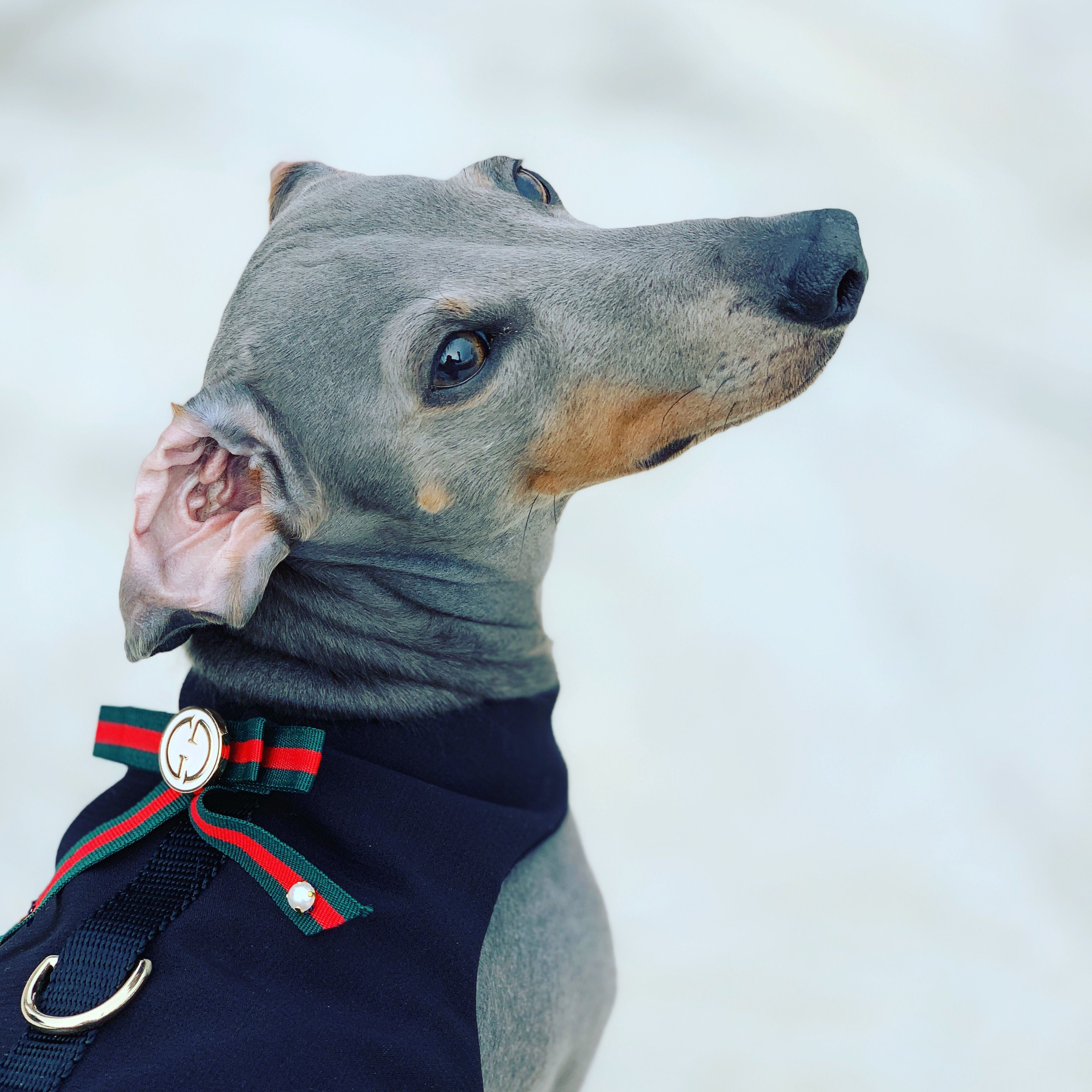 Gucci Inspired Dog Harness Designer Dog Harness Dachshund Dog