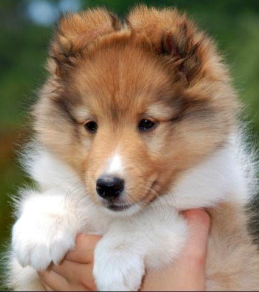 Sheltie puppy. Shetland Sheepdog art portraits