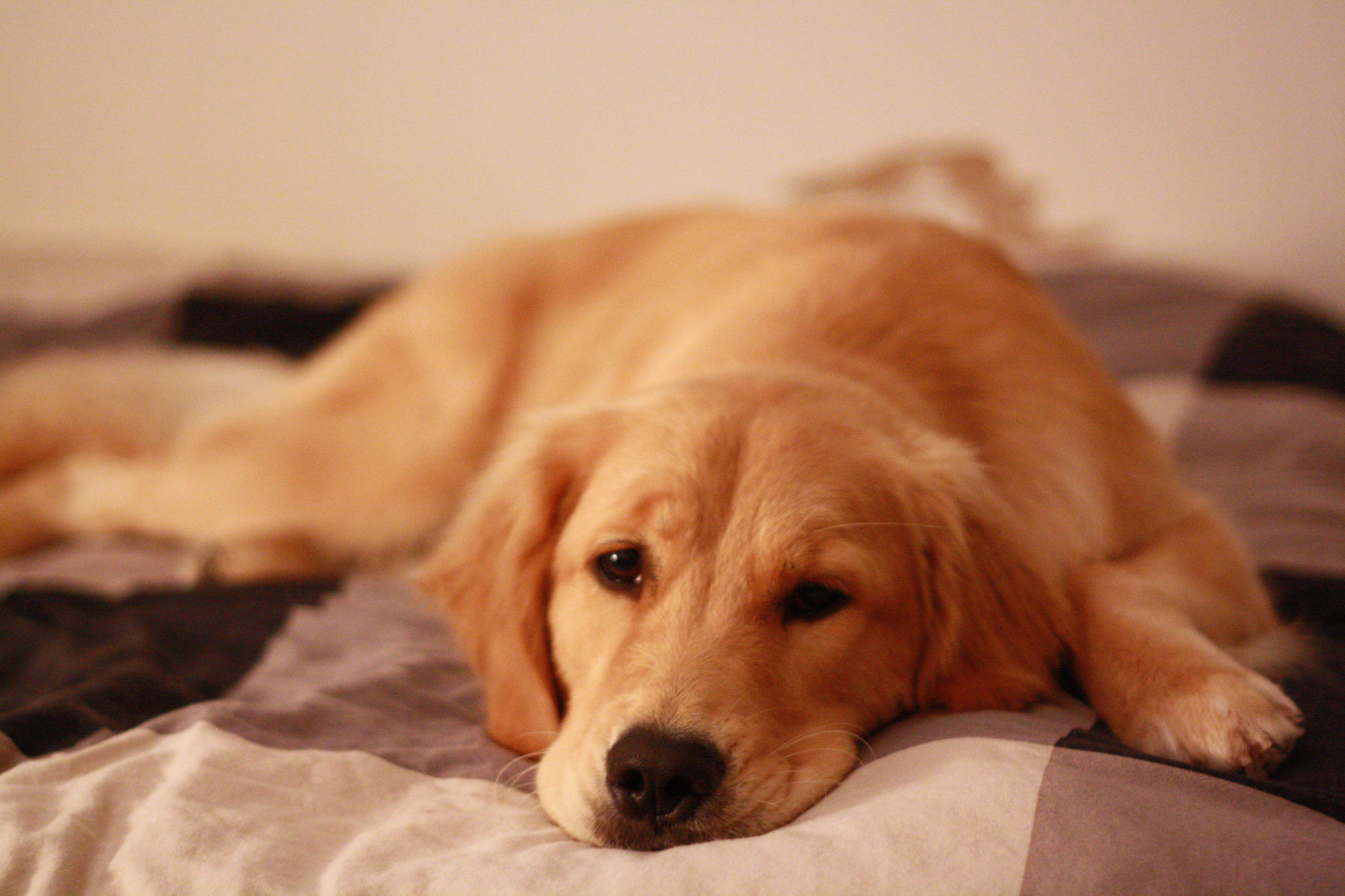 golden just chillen out Golden retriever, Dog friends