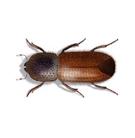 Borkenkafer Insekten Tiere Bilder
