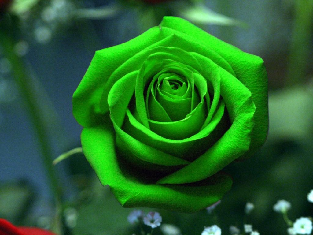 Hd wallpaper rose - Green Rose Wallpapers Hd Pictures One Hd Wallpaper Pictures