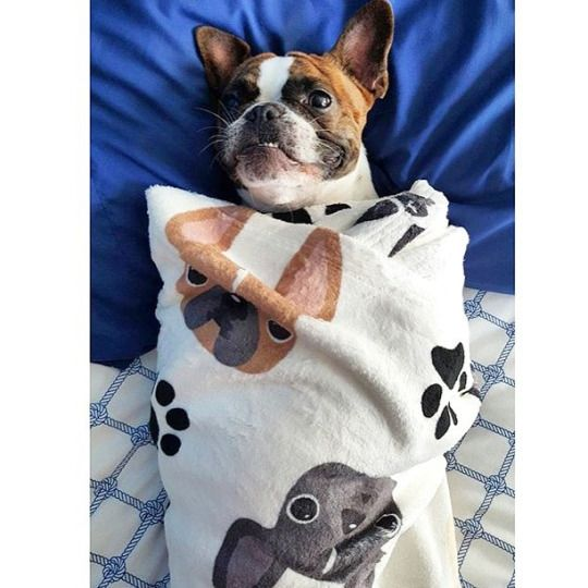 'Romeo', the French Bulldog 'Burrito'.