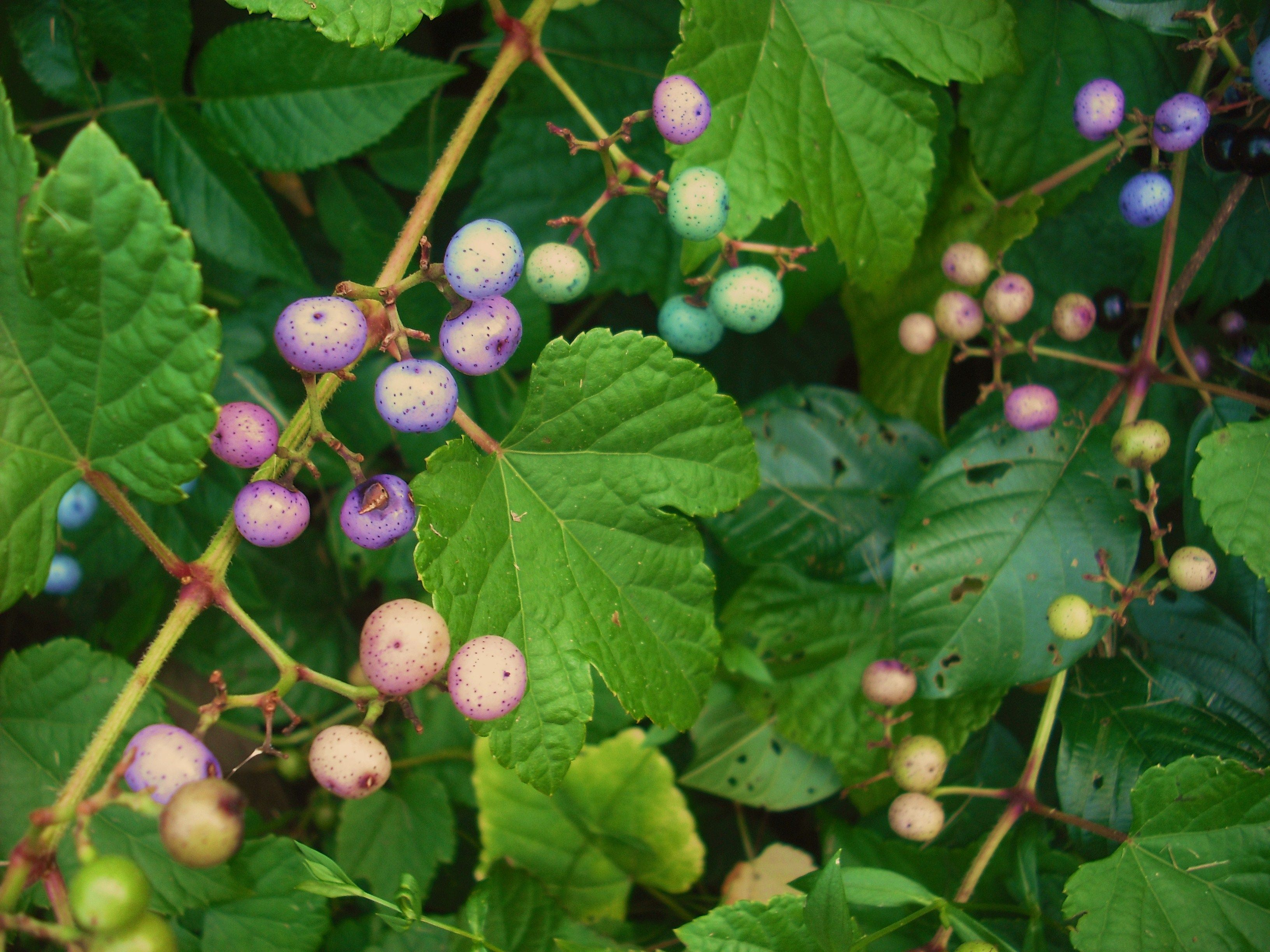 The porcelainberry plant with its pink lavender turquoise and the porcelainberry plant with its pink lavender turquoise and blue berries izmirmasajfo Choice Image