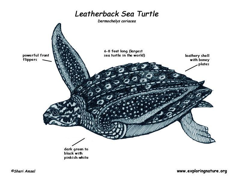 Pin By Faviola Vazquez On Leatherback Sea Turtle Sea Turtle Largest Sea Turtle Leatherback