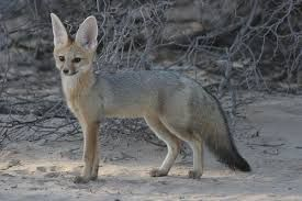 Image result for Pale fox