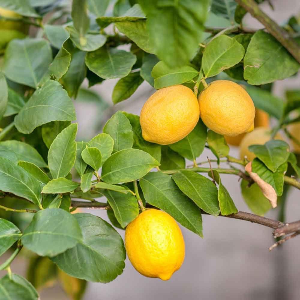 Patio Plants That You Can Eat Fruit Trees Lemon Tree Dwarf Fruit Trees