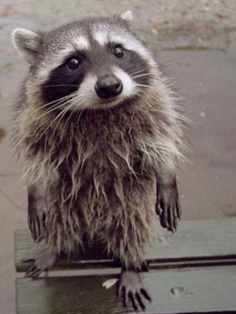 Can I Borrow A Towel Wet Raccoon In The Rain Baby Animals Cute Cartoon Animals Animals