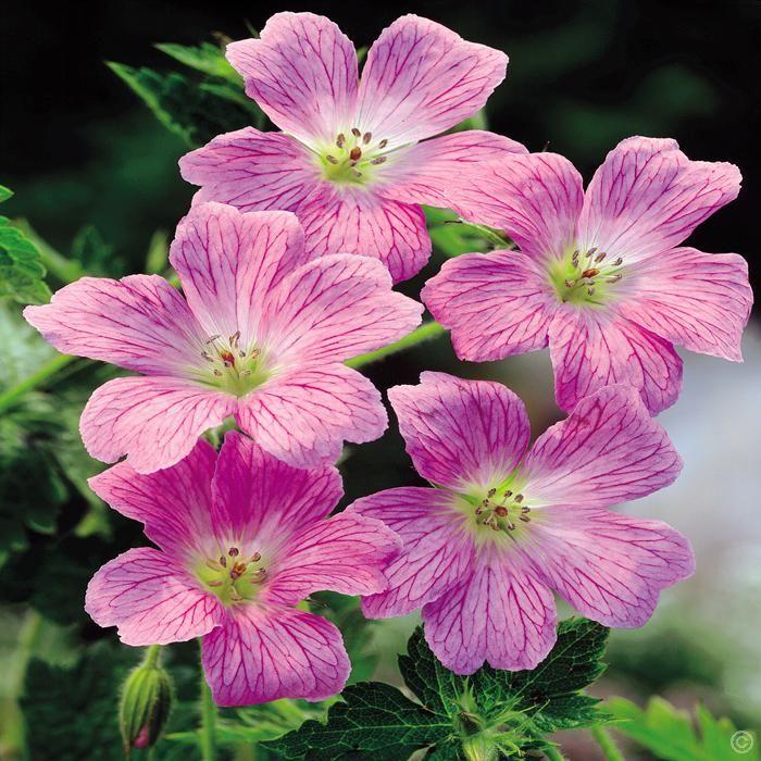 g ranium himalayense rose x 3 achetez en ligne sur internet commander vite jardin chamboulive. Black Bedroom Furniture Sets. Home Design Ideas