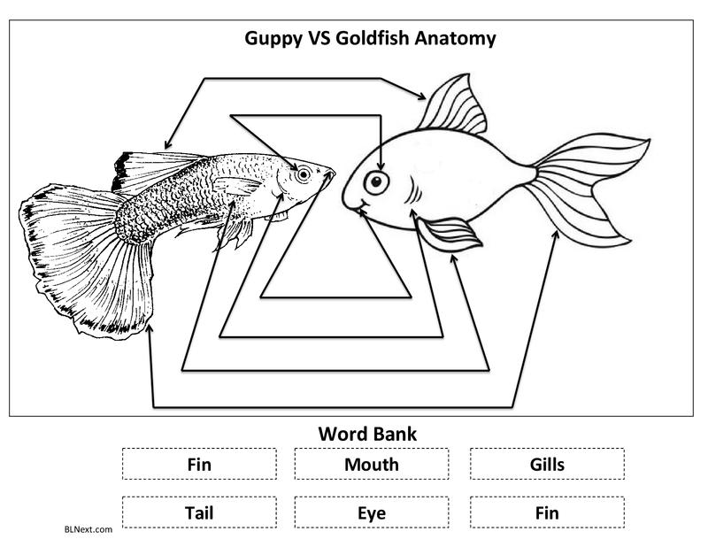 Guppy VS Goldfish.pdf | Guppy, Kindergarten science, GoldfishPinterest