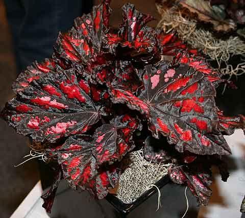 Magic Colors Begonia Rex Bonsai Flower Begonia Rare Flowers