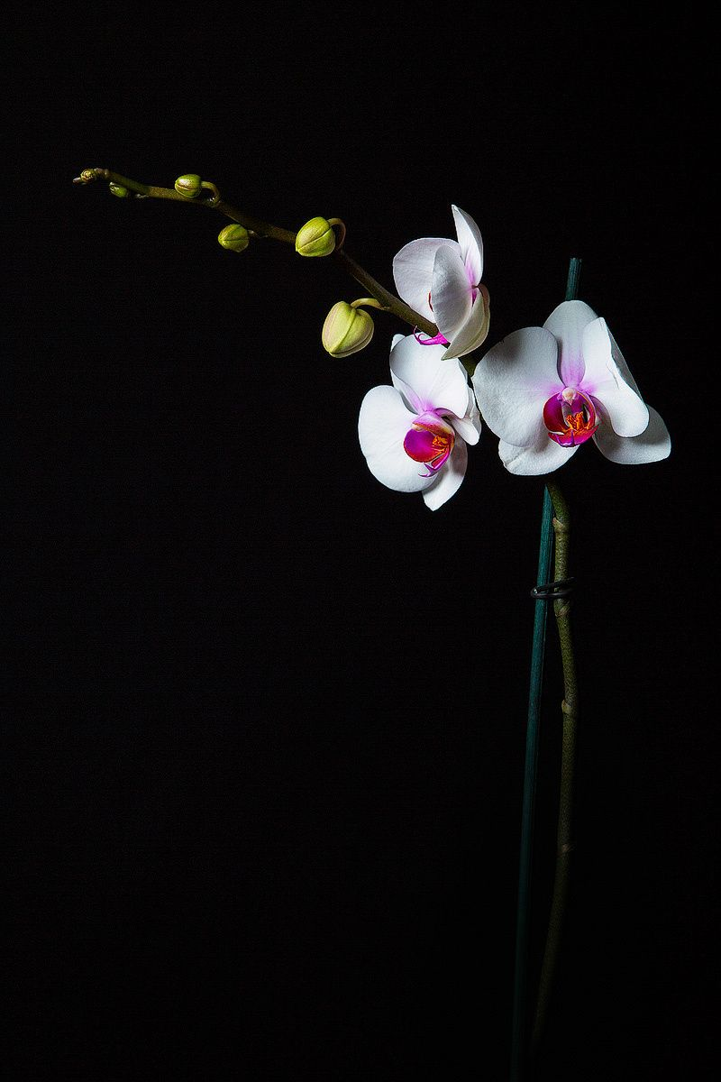 Orchid Study - null   Орхидеи, Цветы, Природа