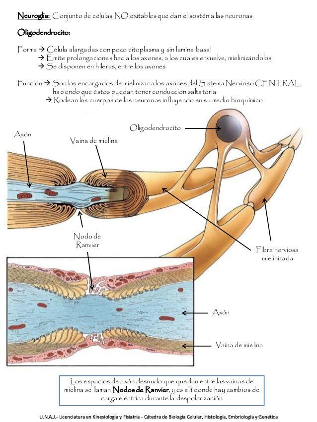 que celulas forman la mielina en el sistema nervioso central