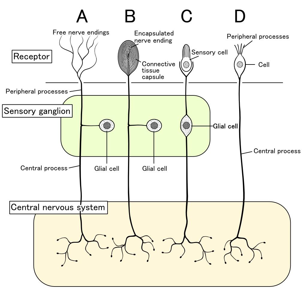 A Schematic Of The Classes Of Sensory Receptors A P Pinterest