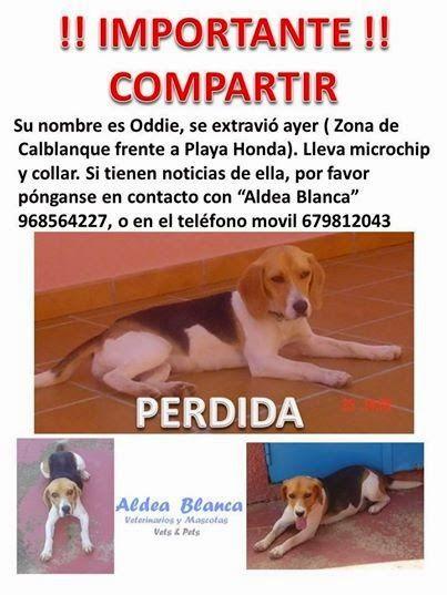 Animales Perdidos y encontrados. Murcia: ODDIE, PERDIDA EL 11/08/14, EN CALBLANQUE/PLAYA HO...